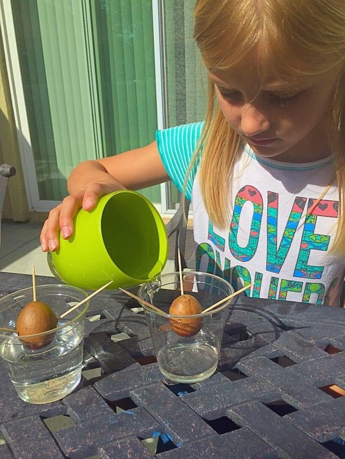 Gardening with kids. Planting avocado seeds.