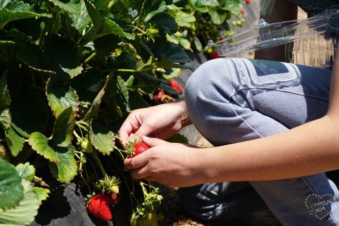 Strawberry farm Orange County