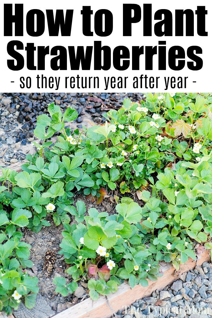 Best Way to Grow Strawberries